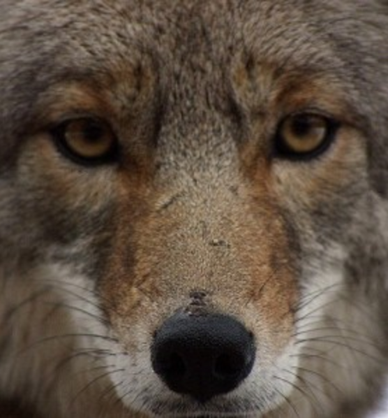Resilient Coyote's at Standing Rock